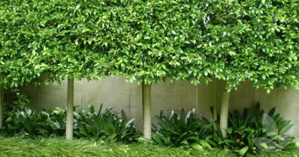 Evergreen Or Deciduous Trees Around Pools Collections