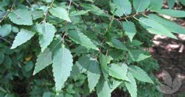 Zelkova Serrata Green Vase Library Speciality Trees