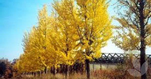 ginkgo biloba  u0026 39 princeton sentry u0026 39     library  u2212 speciality trees