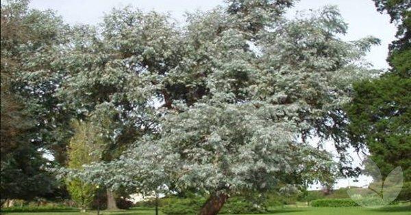 Eucalyptus Cinerea 'grafted' / Argyle Apple, Canberra Blue